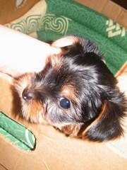 Продам щенка йоркширского терьера(мальчик)