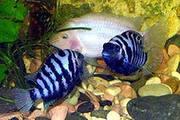 аквариумных  рыб цихлозом альбиносов