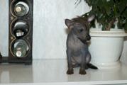 Щенков перуанской голой собаки