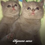 Котята-британцы ищут хозяев)