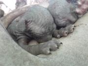 Котята сфинкса