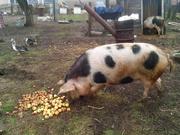 Свинья полуторогодовалая (130 кг) на расплод/мясо