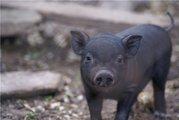 Вьетнамских вислобрюхих свинок